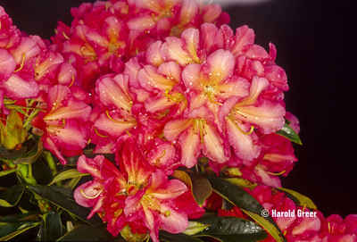 Rhododendron 'Whirlaway'