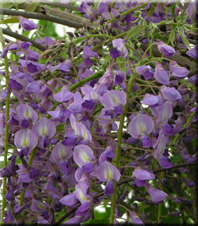 Wisteria floribunda 'Royal Purple'