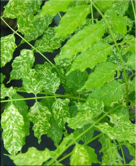 Wisteria sinensis 'Variegata'