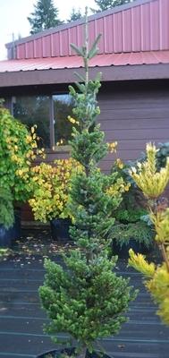 Abies Fraseri Fastigiata Compacta Conifers
