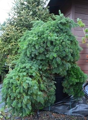 Abies Procera La Graciosa Conifers