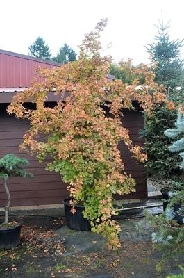 Acer campestre 'Pulverulenta'
