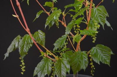 Acer conspicuum 'Phoenix'
