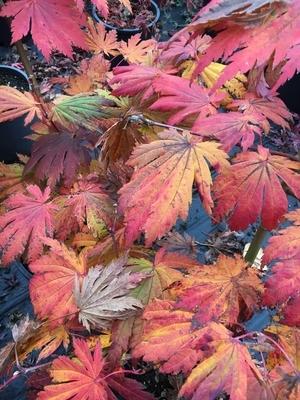 Acer japonicum 'Rising Sun'
