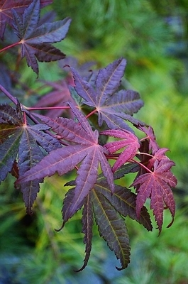 Acer Palmatum Baby Ghost Japanese Maples Ornamental Trees