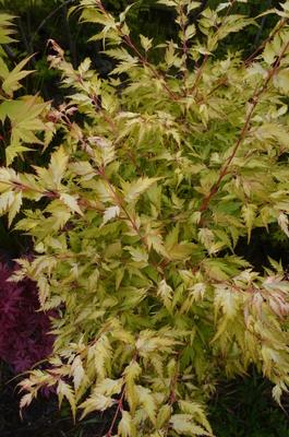 Acer palmatum 'Hanezu hagaromo'