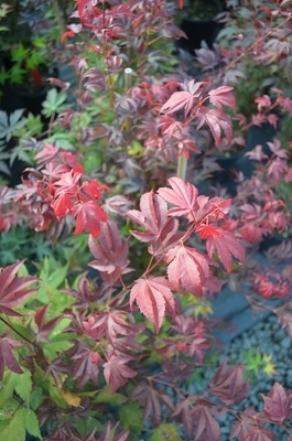 Acer palmatum 'Ruslyn in the Pink'