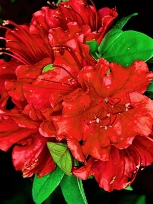 Azalea 'Girard's Hot Shot'
