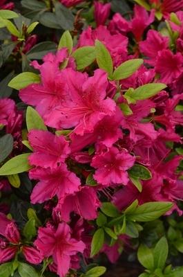 Azalea Girard S Fuchsia Evergreen Azaleas