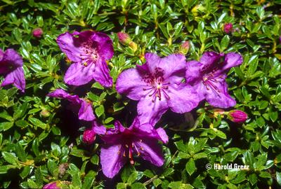 Rhododendron calostrotum ssp. keleticum