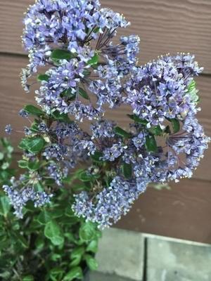 Ceanothus maritimus 'Valley Violet'