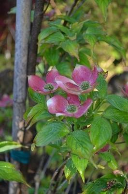 Cornus x 'Stellar Pink'
