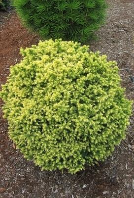 Cryptomeria Japonica Golden Promise Conifers
