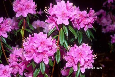 Rhododendron davidsonianum