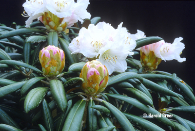Rhododendron degronianum ssp. yakushimanum 'Yaku Angel'