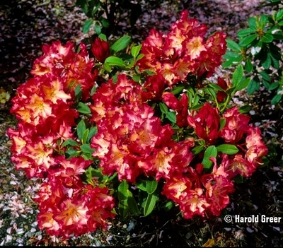 Rhododendron 'Earl Murray'