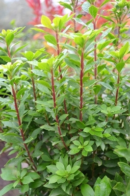 Enkianthus 'Red Bells'