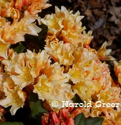 Rhododendron 'Glowing Gold'
