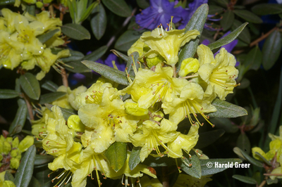 Rhododendron 'Goldilocks'