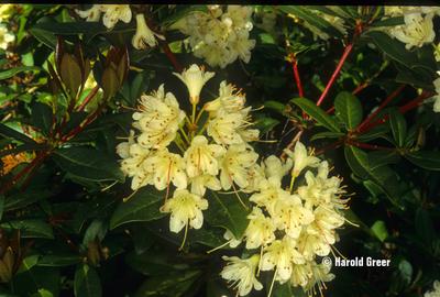 Rhododendron hanceanum v. nanum