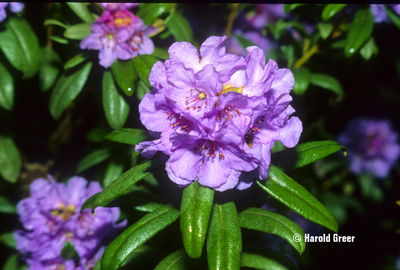 Rhododendron hippophaeoides var. hippophaeoides