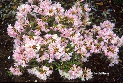 Rhododendron 'Honsu's Baby'