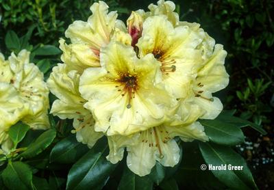Rhododendron 'Horizon Lakeside'