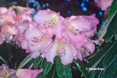 Rhododendron hunnewellianum