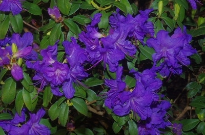 Rhododendron 'Blue Ridge'