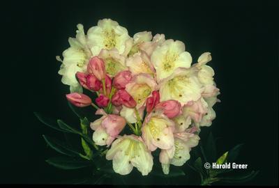 Rhododendron 'Jefferson Centennial'