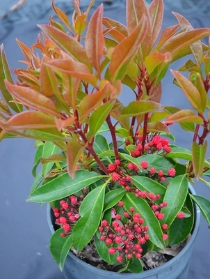 Kalmia latifolia 'Nathan Hale'