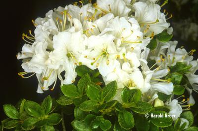 Rhododendron kiusianum 'White'