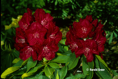 Rhododendron 'Lem's Stormcloud'
