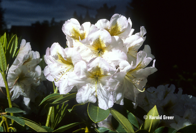 Rhododendron 'Mrs. J.G. Millais'
