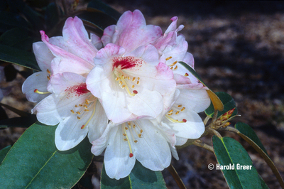 Rhododendron pachysanthum (Mensing form)