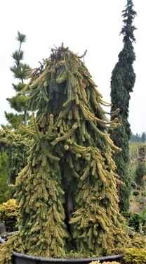 Conifers From Bloom River Gardens