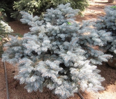 Picea pungens 'Thume'