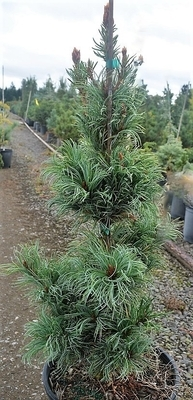 Pinus parviflora 'Templehof'