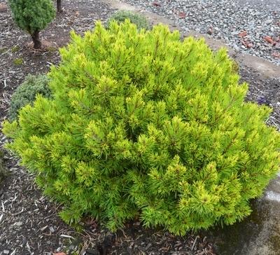 Pinus virginiana 'Driscoll'