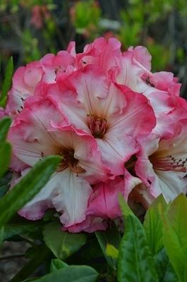 Rhododendron 'Bodacious'
