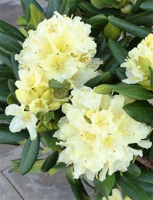 Rhododendron 'Capistrano'
