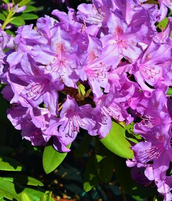Rhododendron 'Catawbiense Boursault'