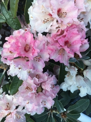 Rhododendron 'Chemainus'