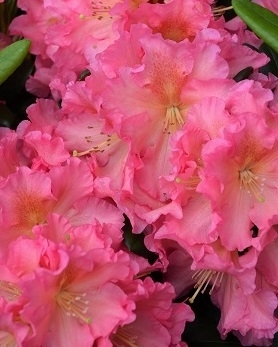 Rhododendron 'Cody'