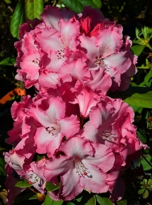 Rhododendron 'Dorothy Bishop'