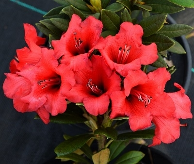 Rhododendron haematoides