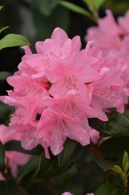 Rhododendron 'June Pink'