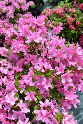 Rhododendron kiusianum 'Pink'