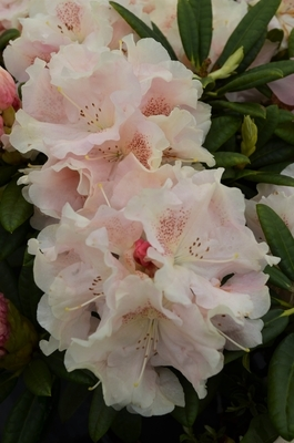 Rhododendron 'Love Poem'