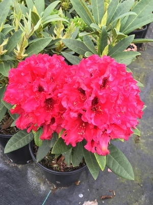 Rhododendron 'Max Sye'